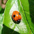 2-spot Ladybird. Adalia bipunctata. - Flickr - gailhampshire.jpg
