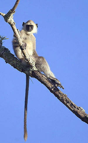 Bandipur National Park - A gray langur