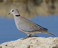 2012 Ring-necked Dove.jpg