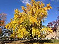 2014-11-02 12 06 44 Ginkgo during autumn at the Ewing Presbyterian Church Cemetery in Ewing, New Jersey.jpg