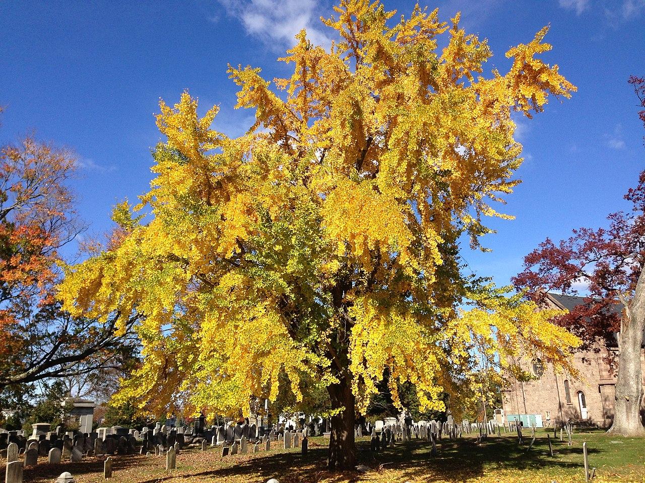 Ginkgo biloba, en otoño. /Imagen: Wikipedia.