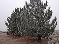 2014-12-17 09 46 53 Rime from freezing fog on pine trees in Elko, Nevada.JPG
