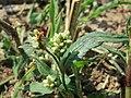 20150822Persicaria lapathifolia1.jpg
