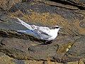 2016-08-17 Sterna dougallii, St Marys Island, Northumberland 13.jpg