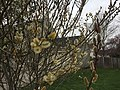 2017-04-03 15 46 59 Pussy Willow flowers along Scotsmore Way near Kinross Circle in the Chantilly Highlands section of Oak Hill, Fairfax County, Virginia.jpg