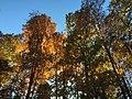 2017-11-10 15 57 50 View up into the canopy of several trees during late autumn within Hosepen Run Stream Valley Park in Oak Hill, Fairfax County, Virginia.jpg