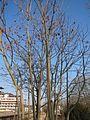 20170123Ailanthus altissima6.jpg
