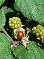 20170806 145810 seven-spot ladybird sitting on green blackberry.jpg