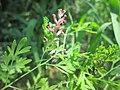 20190525Fumaria officinalis2.jpg