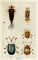38-Indian-Insect-Life - Harold Maxwell-Lefroy - Cassidinae.jpg