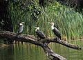 3 Weißbrustkormoran , Phalacrocorax lucidus.jpg