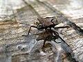 4774 - Stechelberg - Pentatomidae.JPG