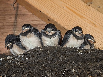 5 young barn swallows sitting in a nest that was build in a birdwatchers shed.