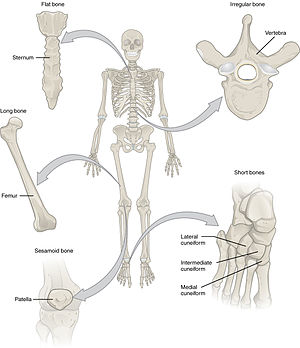 Anatomical terms of bone - Different types of bone