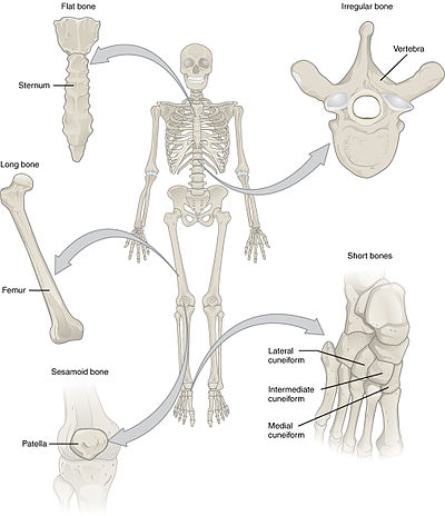 Anatomical Terms Of Bone Wikipedia