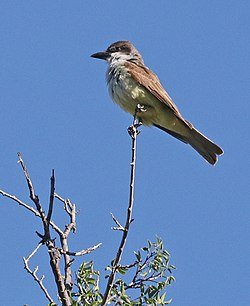 605 - THICK-BILLED KINGBIRD (5-22-2018) tubac, santa cruz co, az -01 (42239689652).jpg