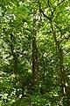 61-220-5002 Dorohychiv Oaks RB 18.jpg