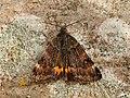 70.204 BF1662 Light Orange Underwing, Archiearis notha, male (7024564889).jpg