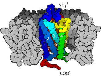 Neurotransmitter receptor - Figure 1. The seven transmembrane α-helix structure of a G-protein-coupled receptor.