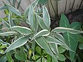 9639Ornamental plants in the Philippines 08.jpg