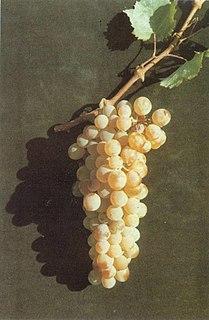 Assyrtiko varietal