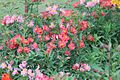 A Collection of Flowers from Ooty047.jpg