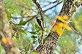 A Downy Woodpecker.jpg