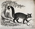 A Lemurine opossum climbing on a tree. Etching by Eastgate. Wellcome V0020495.jpg