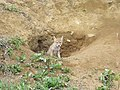 A Seemingly Shy Coyote Pup at Den in Metzger Farm Open Space, Colorado (17614313821).jpg
