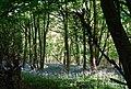 A carpet of Bluebells, Tower Rd - geograph.org.uk - 1289473.jpg
