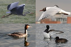 A composition of birds met at Houten at 5 March 2014 - panoramio.jpg
