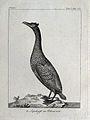 A cormorant. Etching. Wellcome V0022786ER.jpg