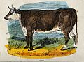 A cow. Coloured wood engraving. Wellcome V0021353.jpg
