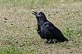 A crow? (4437496692).jpg