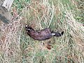 A dead Mink on the bank of the River Deveron. - geograph.org.uk - 379328.jpg