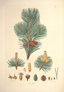 A description of the genus Pinus (Tab. II) (7797045886).jpg