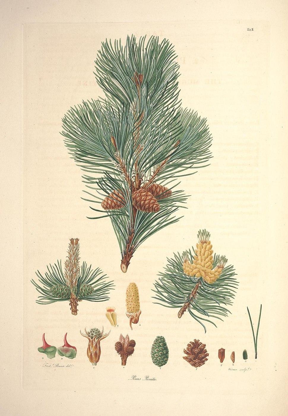 A description of the genus Pinus (Tab. II) (7797045886)