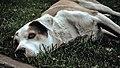 A dog having some sleep on grass.jpg