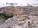A gentoo penguin colony at Petermann Island, 2006.jpg