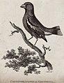 A grossbill (grosbeak) sitting on a branch of a tree. Etchin Wellcome V0021206ER.jpg