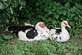 A pair of Muscovy Ducks.jpg