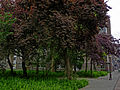A photo of a group of red urban trees in the Plantage-district, Amsterdam; high resolution image by FotoDutch in June 2013..jpg