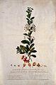 A plant (Lycium aethiopicum); flowering stem and floral segm Wellcome V0044785.jpg