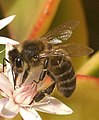 Abella abeja - apis melifera 01 (232017292).jpg