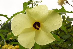 Description de l'image Abelmoschus manihot Flower 3000px.jpg.