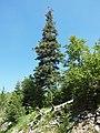 Abies alba Bijela gora Montenegro close Keseli katuni.JPG