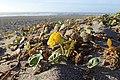 Abronia latifolia kz01.jpg