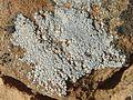Acarospora strigata - Flickr - pellaea (14).jpg