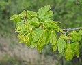 Acer campestre in Aveyron (11).jpg