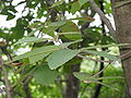 Acer maximowiczianum3.jpg
